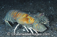 Slipper Lobster Photo - Gary Bell