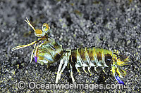 Mantis Shrimp Odontodactylus latirostris Photo - Gary Bell