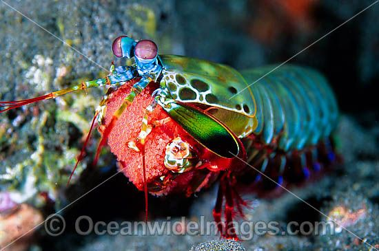 Mantis Shrimp (Odontodactylus scyallarus) - female carrying egg mass. Found on sand and rubble throughout the Indo-Pacific. Photo taken at Tulamben, Bali, Indonesia Photo - Gary Bell