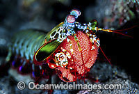 Mantis Shrimp with eggs Photo - Gary Bell
