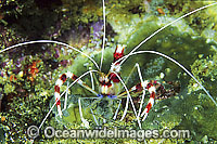 Banded Coral Cleaner Shrimp Stenopus hispidus Photo - Gary Bell