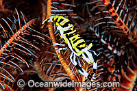 Commensal Crinoid Shrimp on Crinoid photo