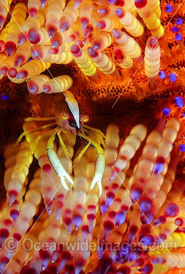 Commensal Shrimp (Allopontonia iaina) on Stinging Fire Urchin (Asthenosoma ijimai). Found in association with stinging fire urchins throughout Indo-Pacific. Photo taken Lembeh Strait, Sulawesi, Indonesia Photo - Gary Bell
