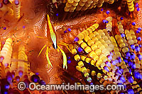 Shrimp Stinging Fire Urchin Photo - Gary Bell