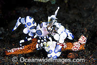 Harlequin Shrimp feeding on sea star