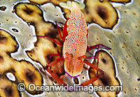Commensal Shrimp on a Sea Cucumber Photo - Gary Bell