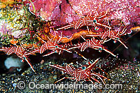 Hingebeak Shrimp Rhynchocinetes durbanensis Photo - Gary Bell