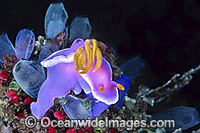Pink Dorid Nudibranch Chromodoris bullocki Photo - Gary Bell