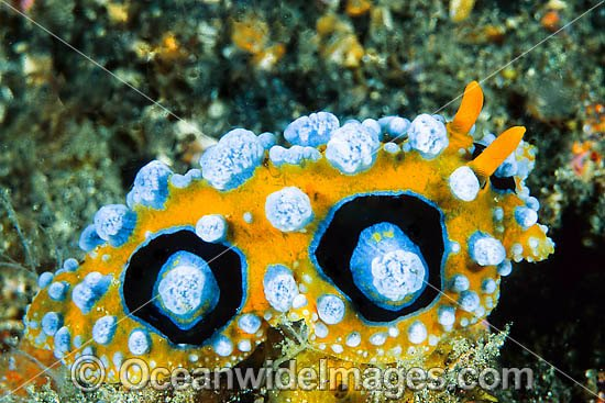 Nudibranch (Phyllidia ocellata). Found throughout Indo-West Pacific. Photo taken Lembeh Strait, Sulawesi, Indonesia