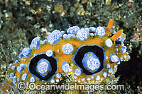 Nudibranch Phyllidia ocellata Photo - Gary Bell
