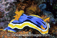 Nudibranch Chromodoris sp. Photo - Gary Bell