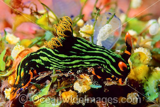 Nudibranch (Nembrotha kubaryana). Found throughout the Indo-West Pacific. Photo taken at Tulamben, Bali, Indonesia Photo - Gary Bell