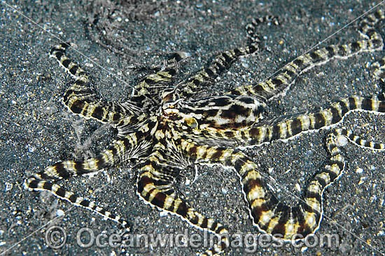 Mimic Octopus (Thaumoctopus mimicus). This octopus is a master of cryptic camouflage, often mimicking marine animals. Found throughout the Indo-West Pacific. Photo taken Lembeh Strait, Sulawesi, Indonesia