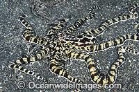 Mimic Octopus image