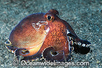 Veined Octopus Octopus marginatus