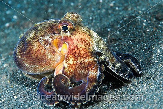 Veined Octopus (Octopus marginatus) - showing colour variation 2. Also known as Coconut Octopus as it is often sighted hiding in discarded coconut shells. Found throughout the Indo-West Pacific. Photo taken Lembeh Strait, Sulawesi, Indonesia