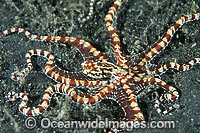 Wonderpus Octopus Photo - Gary Bell