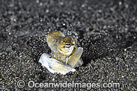 Octopus mimicking Jawfish