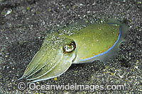 Cuttlefish Photo - Gary Bell