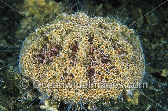 Flower Urchin (Toxopneustes pileolus). Also known as Toxic or Venomous Sea Urchin.This Urchin has sharp toxic spines and has caused fatalities. Found throughout the Indo-Pacific. Photo taken Lembeh Strait, Sulawesi, Indonesia