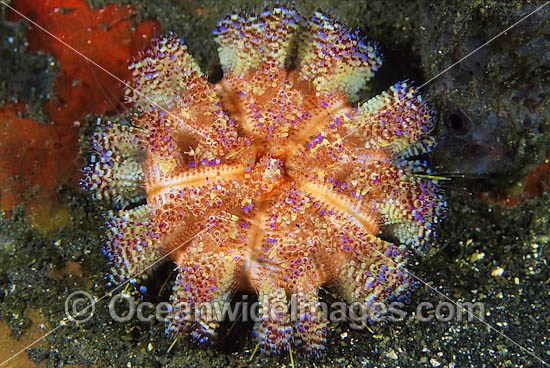 Fire Urchin (Asthenosoma ijimai). This sea urchin has venomous spines and able to inflict painful stings. Found throughout the Indo-Pacific. Photo taken Lembeh Strait, Sulawesi, Indonesia Photo - Gary Bell