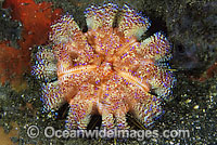 Fire Urchin Asthenosoma ijimai photo
