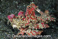 Demon Stinger Scorpionfish (Inimicus didactylus). Also known as Devilfish and Demon Stinger. This fish has venomous spines and can inflict painful stings. Found throughout the Indo-Pacific. Photo taken at Lembeh Strait, Sulawesi, Indonesia Photo: Gary Bell