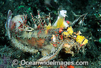 Devil Stinger Scorpionfish Inimicus didactylus Photo - Gary Bell