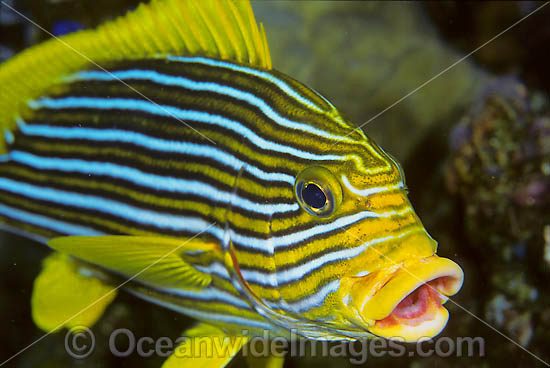 Ribbon Sweetlips (Plectorhinchus polytaenia). Also known Striped and Yellow-ribbon Sweetlips. Found throughout the Indo-Pacific. Photo taken at Tulamben, Bali, Indonesia.