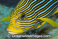 Ribbon Sweetlips Plectorhinchus polytaenia Photo - Gary Bell