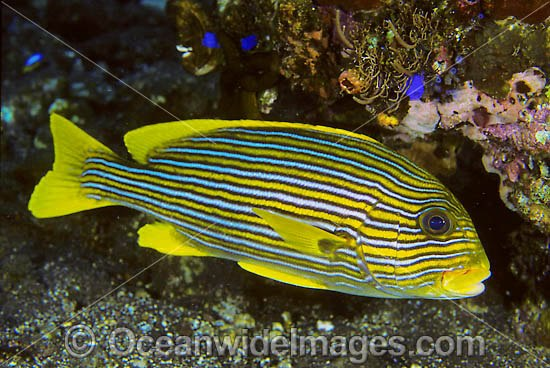 Ribbon Sweetlips (Plectorhinchus polytaenia). Also known Striped and Yellow-ribbon Sweetlips. Found throughout the Indo-Pacific. Photo taken at Tulamben, Bali, Indonesia. Photo - Gary Bell