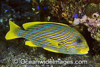 Ribbon Sweetlips Photo - Gary Bell