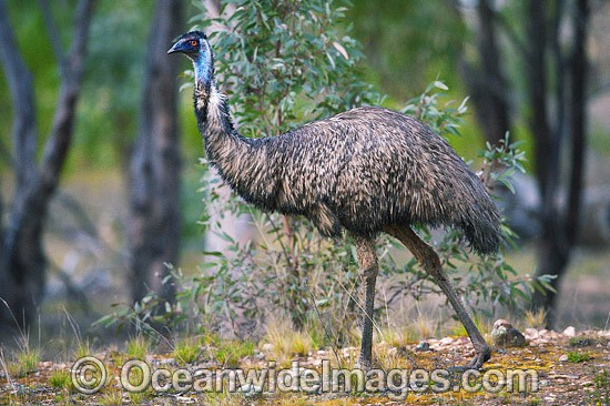 Emu (Dromaius novaehollandiae). Common throughout Australia in habitat ranging from semi-arid grasslands, scrublands, open woodlands to tall dense forests. Photo taken Warrumbungle National Park, New South Wales, Australia Photo - Gary Bell