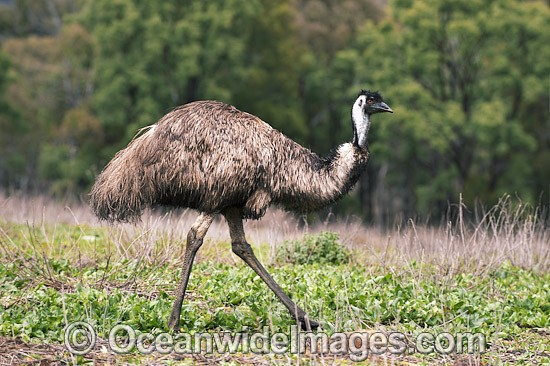 emu photos images pictures