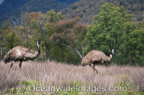 Emu (Dromaius novaehollandiae). Common throughout Australia in habitat ranging from semi-arid grasslands, scrublands, open woodlands to tall dense forests. Photo taken Warrumbungle National Park New South Wales, Australia Photo - Gary Bell