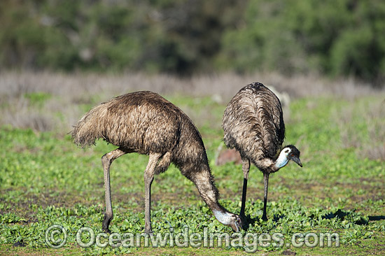 Emu pair (Dromaius novaehollandiae) - grazing. Common throughout Australia in habitat ranging from semi-arid grasslands, scrublands, open woodlands to tall dense forests. Photo taken Warrumbungle National Park, New South Wales, Australia Photo - Gary Bell