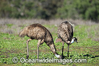Emu Pair grazing Photo - Gary Bell