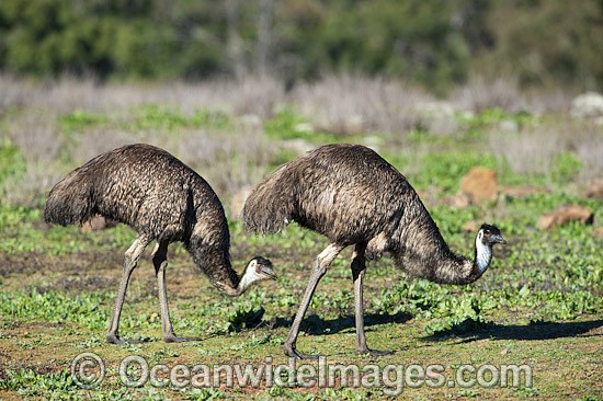 Emu pair (Dromaius novaehollandiae). Common throughout Australia in habitat ranging from semi-arid grasslands, scrublands, open woodlands to tall dense forests. Photo taken Warrumbungle National Park, New South Wales, Australia Photo - Gary Bell