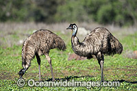 Emu Pair Photo - Gary Bell