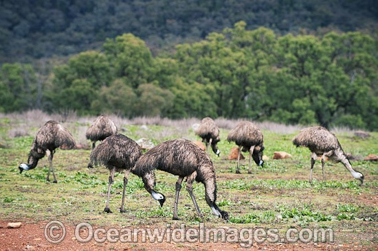 Emu flock (Dromaius novaehollandiae) - grazing. Common throughout Australia in habitat ranging from semi-arid grasslands, scrublands, open woodlands to tall dense forests. Photo taken Warrumbungle National Park, New South Wales, Australia Photo - Gary Bell