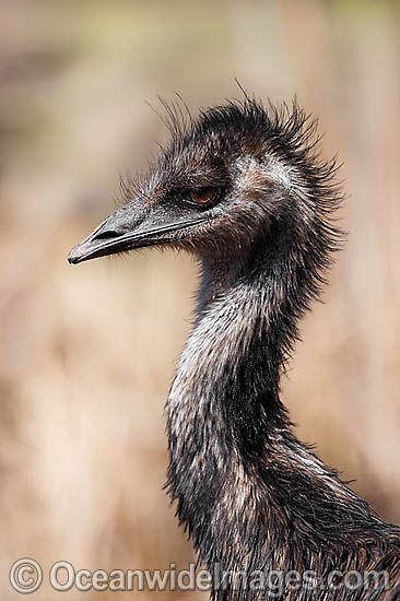Emu (Dromaius novaehollandiae) - one year old juvenile. Common throughout Australia in habitat ranging from semi-arid grasslands, scrublands, open woodlands to tall dense forests. Photo taken Warrumbungle National Park, New South Wales, Australia Photo - Gary Bell