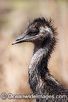 Emu juvenile Photo - Gary Bell