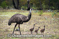 Emu male with chicks Photo - Gary Bell