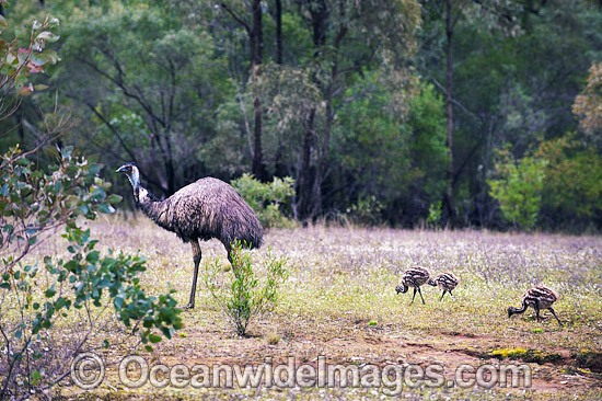 Emu (Dromaius novaehollandiae) - adult male with chicks. Common throughout Australia in habitat ranging from semi-arid grasslands, scrublands, open woodlands to tall dense forests. Photo taken Warrumbungle National Park, New South Wales, Australia Photo - Gary Bell