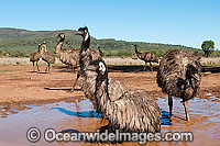 Emu wallowing in puddle Photo - Gary Bell