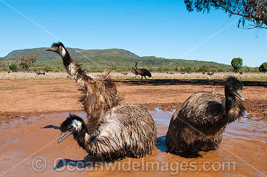 Emus (Dromaius novaehollandiae) - wallowing in a rain puddle. Common throughout Australia in habitat ranging from semi-arid grasslands, scrublands, open woodlands to tall dense forests. Photo taken Gingandra, New South Wales, Australia Photo - Gary Bell