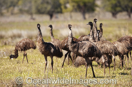 Emu (Dromaius novaehollandiae) - flock of one year old juveniles. Common throughout Australia in habitat ranging from semi-arid grasslands, scrublands, open woodlands to tall dense forests. Photo taken Gilgandra, New South Wales, Australia Photo - Gary Bell