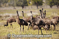 Emu flock of juveniles Photo - Gary Bell