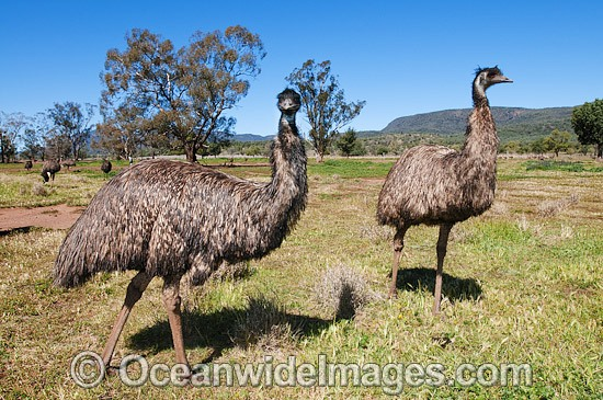 Emu flock (Dromaius novaehollandiae). Common throughout Australia in habitat ranging from semi-arid grasslands, scrublands, open woodlands to tall dense forests. Photo taken Gilgandra, New South Wales, Australia Photo - Gary Bell