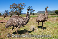 Emu Dromaius novaehollandiae flock Photo - Gary Bell